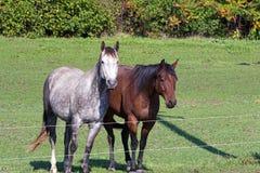 2 квартальных лошади загородкой Стоковое Фото
