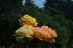 Квартет желтого Розы стоковые фото