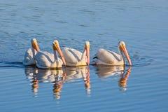 Квартет пеликана Стоковое Изображение