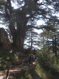 Кедры Ливана, прогулка туристов среди кедров стоковые изображения rf