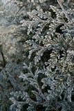 кедр ветви Стоковые Фото