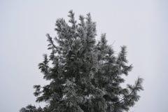 Кедр в изморози в зиме рождество моя версия вектора вала портфолио стоковая фотография rf