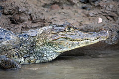 Кейман в Коста-Рика Голова крокодила (аллигатор) Стоковые Изображения