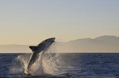 Кейптаун, акулы, веселя скакать из воды, смотрит большим, каждое должен видеть эту сцену раз в вашей жизни Стоковое Изображение RF