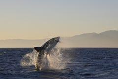 Кейптаун, акулы, веселя скакать из воды, смотрит большим, каждое должен видеть эту сцену раз в вашей жизни Стоковые Изображения RF