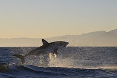 Кейптаун, акулы, веселя скакать из воды, смотрит большим, каждое должен видеть эту сцену раз в вашей жизни Стоковое фото RF