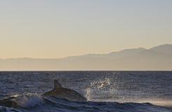 Кейптаун, акулы, веселя скакать из воды, смотрит большим, каждое должен видеть эту сцену раз в вашей жизни Стоковые Изображения