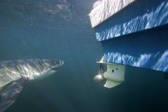 Кейптаун, акулы, подводные взгляды, акула атакуя мой шатер, взгляды большие, каждое должен видеть эту сцену раз в жизни Стоковое фото RF