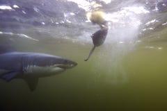 Кейптаун, акулы, подводные взгляды, взгляды большие, каждое должен видеть эту сцену раз в вашей жизни Стоковая Фотография