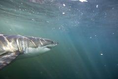 Кейптаун, акулы, подводные взгляды, взгляды большие, каждое должен видеть эту сцену раз в вашей жизни Стоковое Изображение