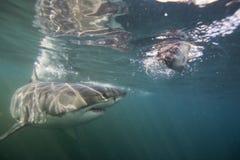 Кейптаун, акулы, подводные взгляды, взгляды большие, каждое должен видеть эту сцену раз в вашей жизни Стоковые Изображения RF