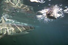 Кейптаун, акулы, подводные взгляды, взгляды большие, каждое должен видеть эту сцену раз в вашей жизни Стоковые Фото