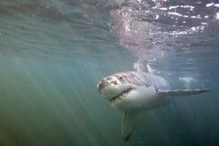 Кейптаун, акулы, подводные взгляды, взгляды большие, каждое должен видеть эту сцену раз в вашей жизни Стоковое фото RF