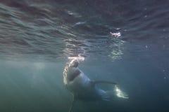 Кейптаун, акулы, подводные взгляды, взгляды большие, каждое должен видеть эту сцену раз в вашей жизни Стоковое Фото