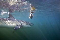 Кейптаун, акулы, подводные взгляды, взгляды большие, каждое должен видеть эту сцену раз в вашей жизни Стоковые Фотографии RF