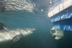 Кейптаун, акулы, подводные взгляды, драка подготовленная для того чтобы атаковать шлюпку, взгляды большие, каждое должен видеть э Стоковые Фотографии RF