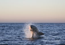 Кейптаун, большой белый dogfish, взгляды очень вкусные, каждое должен видеть эту сцену раз в вашей жизни Стоковые Фото