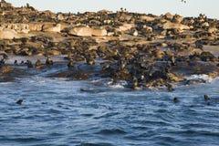 Кейптаун, уплотнения, медведи, взгляды очень вкусные, каждое должен видеть эту сцену раз в вашей жизни Стоковая Фотография RF