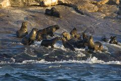 Кейптаун, уплотнения, медведи, взгляды очень вкусные, каждое должен видеть эту сцену раз в вашей жизни Стоковое Изображение RF