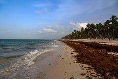 Келп моря садится на мель на пляжах стоковое фото