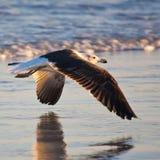 келп чайки неполовозрелый Стоковые Фото
