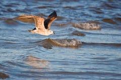 келп чайки неполовозрелый Стоковая Фотография RF