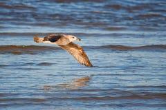 келп чайки неполовозрелый Стоковые Изображения