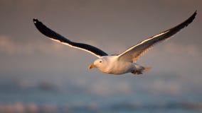 келп чайки Стоковая Фотография RF