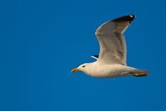 келп чайки Стоковое Изображение RF