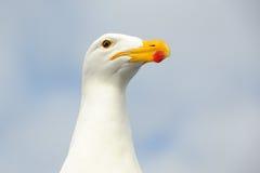 келп чайки Стоковое Фото