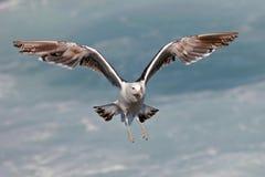 келп чайки Стоковое фото RF