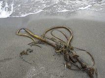 Келп Bull на пляже стоковое изображение