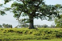 кенгуруы табуна Стоковые Изображения RF