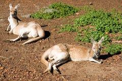 кенгуруы 2 Стоковое Фото