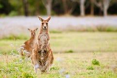 кенгуруы Стоковые Фото