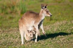 кенгуруы Стоковая Фотография RF