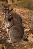 кенгуруы Стоковые Изображения
