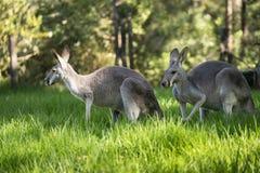 Кенгуру Австралии западные серые на зеленой траве стоковая фотография rf
