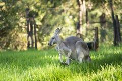 Кенгуру Австралии западные серые на зеленой траве стоковое фото rf