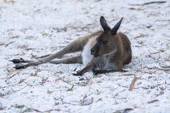 Кенгуру Австралии западные серые на песке стоковая фотография rf