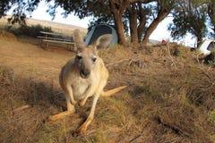 кенгуру Австралии Стоковое Изображение