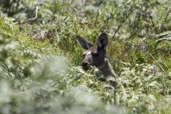 Кенгуру в одичалом на кусте Стоковая Фотография RF