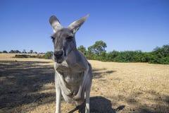 Кенгуру в парке живой природы острова Филиппа. Австралия Стоковая Фотография