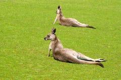2 кенгуру в парке живой природы острова Филиппа Стоковое Изображение RF