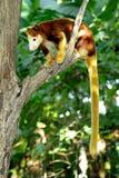 Кенгуру дерева сидя на ветви дерева, Папуаая-Нов Гвинея Стоковые Изображения
