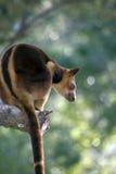 Кенгуру дерева Стоковое Изображение RF
