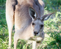 Кенгуру жуя траву Стоковые Фото