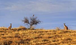 Кенгуру и птица FR 2 Стоковая Фотография