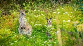 Кенгуру матери и младенца пряча в траве, сигналит внутри сток-видео