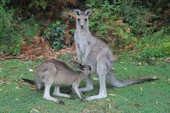 Кенгуру, мать и сын в одичалом Стоковые Фото
